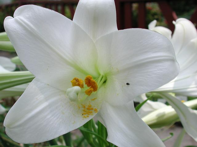 Lys de la Madone, Lilium candidum
