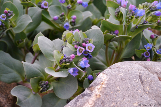 Mertensia maritima hu tre v g tale for Plante huitre
