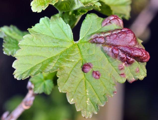 Pucerons leurs d g ts et comment lutter naturellement for Eleagnus maladie feuilles jaunes