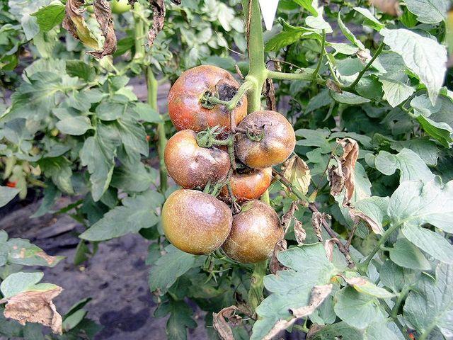 Solutions pour des tomates sans mildiou