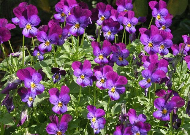 Viola cornuta violette cornue - Pensee fleur vivace ou annuelle ...