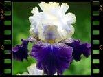 Iris, la fleur des rois