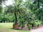 Palmiers en pot : choix et conseils de culture