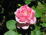 Rose 'Constance Spry' : forme en coupe