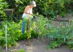 Tomates sans mildiou : ce qui marche vraiment