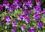 Viola cornuta, violette cornue