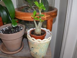 Baobab chacal - Adenium obesum