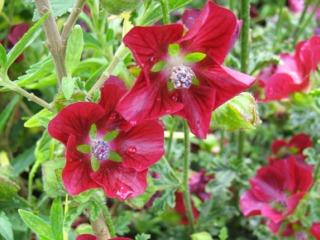 Anisodontea capensis 'Very Cranberry'