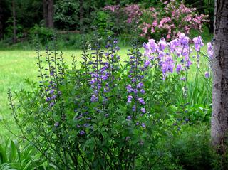 Baptisia australis et iris