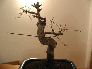 Mon bonsaï perd ses feuilles
