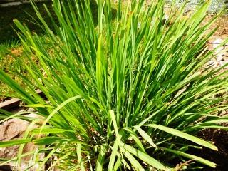 Des plantes contre les moustiques for Plante anti moustique exterieur