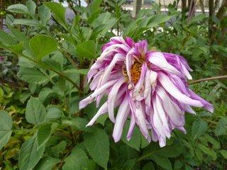 Fleur de dahlia fanée