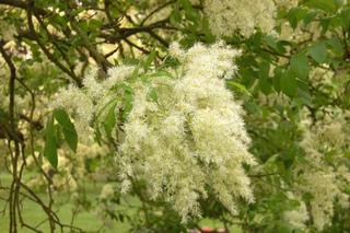 Fraxinus ornus - Frêne à fleurs