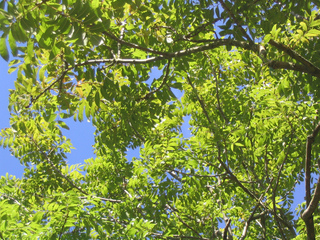 Fraxinus excelsior - Frêne commun (Feuillage)