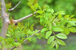 Fraxinus excelsior - Jeunes rameaux