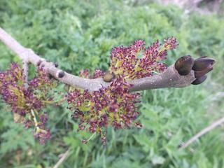 Fraxinus excelsior, frêne commun : fleurs et bourgeons