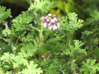 Géranium rosat - Pelargonium graveolens