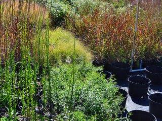 Graminées en pot dans une jardinerie
