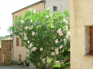 Laurier rose cultivé en pleine terre