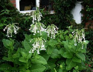 Nicotiana sylvestris - Tabac sylvestre