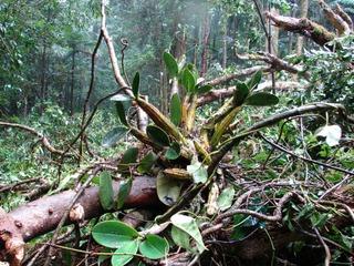 Orchidées sauvages - Forêt équatoriale