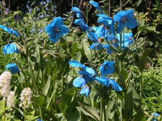 Meconopsis betonicifolia - Pavot bleu de l'Himalaya