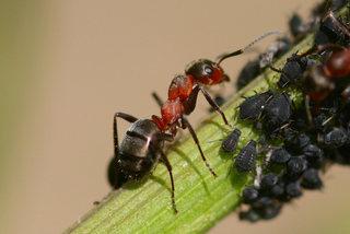 Les fourmis élèvent-elles des pucerons ?