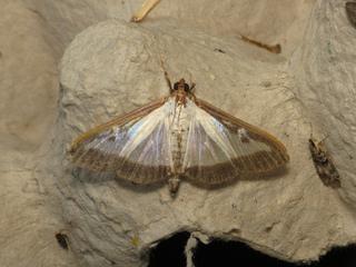 Papillon de pyrale du buis - Cydalima perspectalis