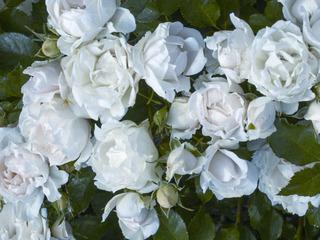 Rose 'Meiradena'  / Meilland Richardier