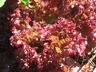 Salade 'Lollo Rossa'