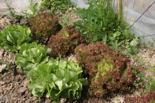 Guide des salades : choisir parmi les variétés
