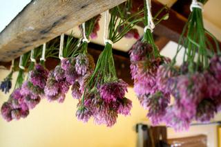 Séchage de fleurs de trèfle