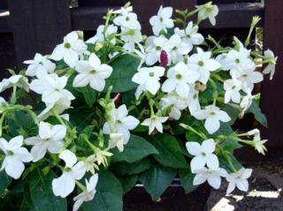 Tabac d'onement - Nicotiana 'Saratoga White'