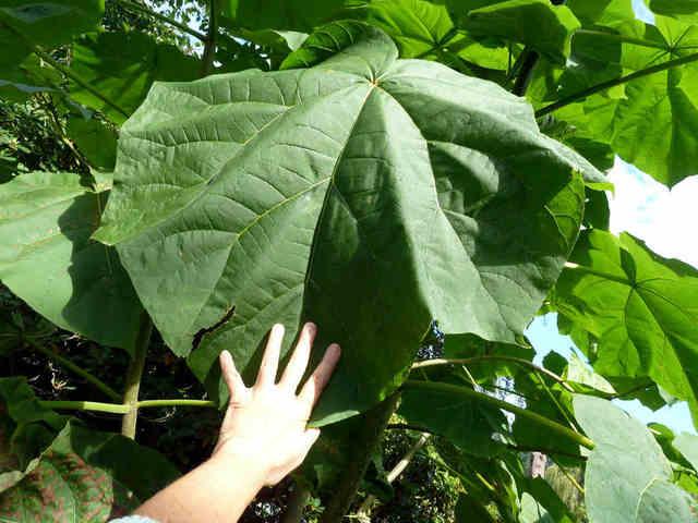 Paulownia tomentosa (Feuillages XXL)