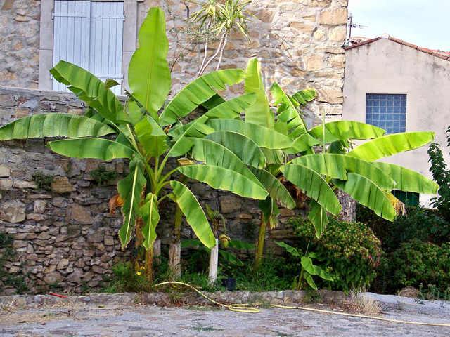 Bananier (Feuillages XXL)