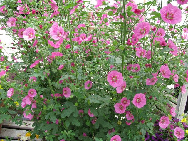 tailler l hibiscus de jardin tailler les arbustes de floraison estivale buddleias l hibiscus. Black Bedroom Furniture Sets. Home Design Ideas