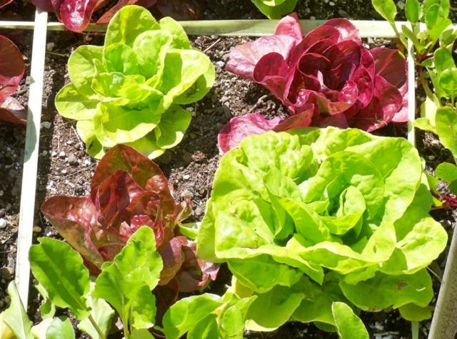 Guide des salades choisir parmi les vari t s - Variete de salade d hiver ...
