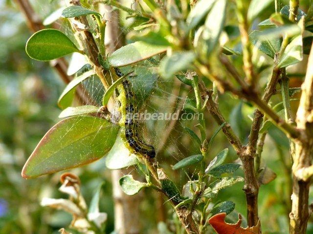 maladie du houx 28 images plante houx houx le jardin c est tout arbustes maladie du houx. Black Bedroom Furniture Sets. Home Design Ideas