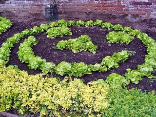 Salades en cercle au potager