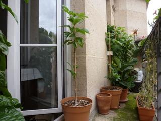 Baobab en pot (5 ans) sur un balcon