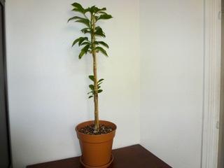 Jeune baobab en pot