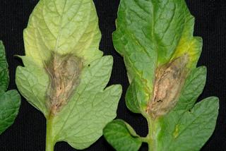 Botrytis cinerea sur feuille de tomate