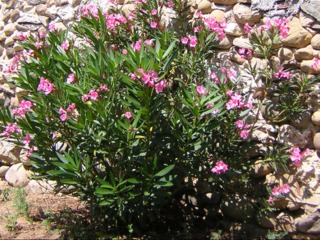 Laurier rose villa romaine une vari t r sistante au froid for Quand rempoter un laurier rose