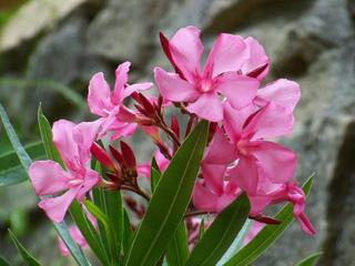 Liste des fleurs toxiques