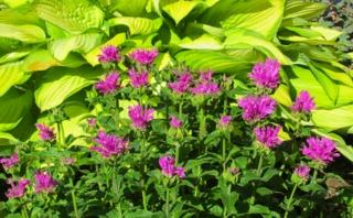 Monarde hybride 'Petite Delight' et Hosta