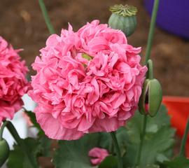 Papaver somniferum 'Pink Chiffon' - Pavot somnifère