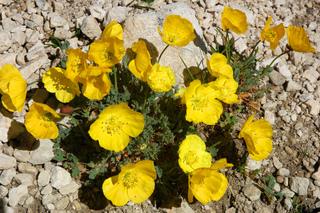 Pavot des Alpes - Papaver alpinum