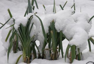 Poireaux d'hiver