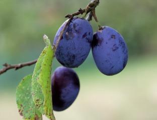 Prunes : différentes variétés et utilisations en cuisine
