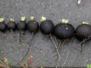 Radis noirs ronds d'hiver